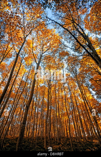 A beautiful wide image of autumn trees  looking up - Stock Image