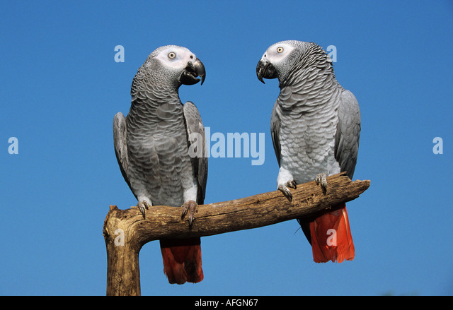 African Grey Parrot (Psittacus erithacus). Pair of adult perched on a branch - Stock-Bilder