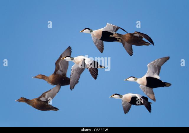 Common Eider (Somateria mollissima). Ducks and drakes in flight. - Stock Image