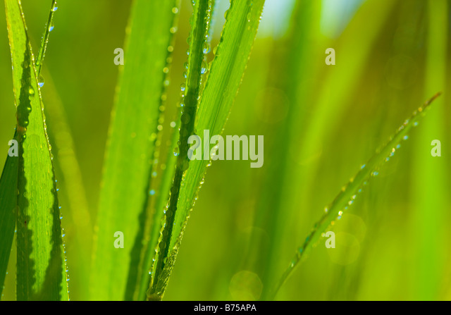 Close-up of grass covered with dew, Toronto, Ontario, Canada - Stock Image