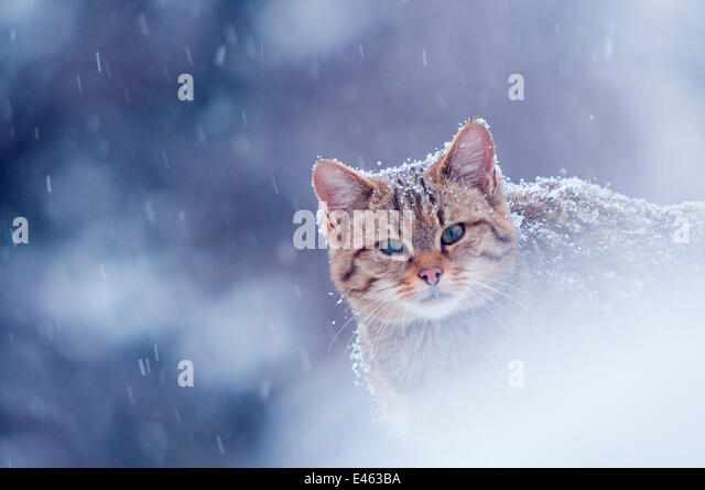 Wild cat (Felis silvestris) in snowstorm captive, Germany - Stock-Bilder