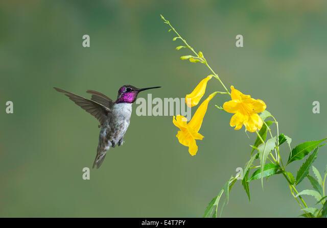 Costa's Hummingbird Calypte costaeTucson, Arizona, United States11 July       Adult Male         Trochilidae - Stock-Bilder