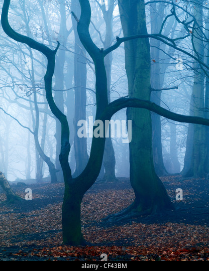 A misty winter morning in peaceful Storeton Woods above the village of Storeton on the Wirral Peninsula. - Stock Image