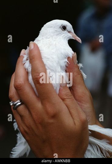 Woman's hands holding white dove, close-up - Stock Image