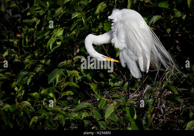 A wind ruffled White Egret preens at its pond apple tree nest assuming a lovely artistic pose. - Stock Image