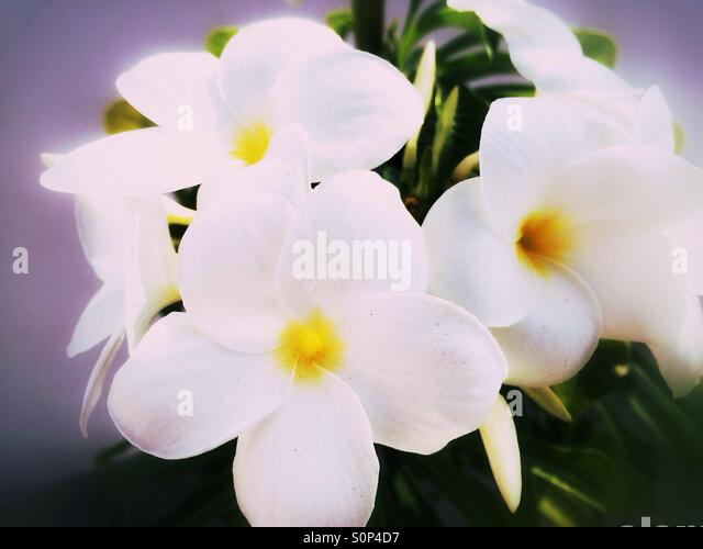 White tropical flowers - Stock Image