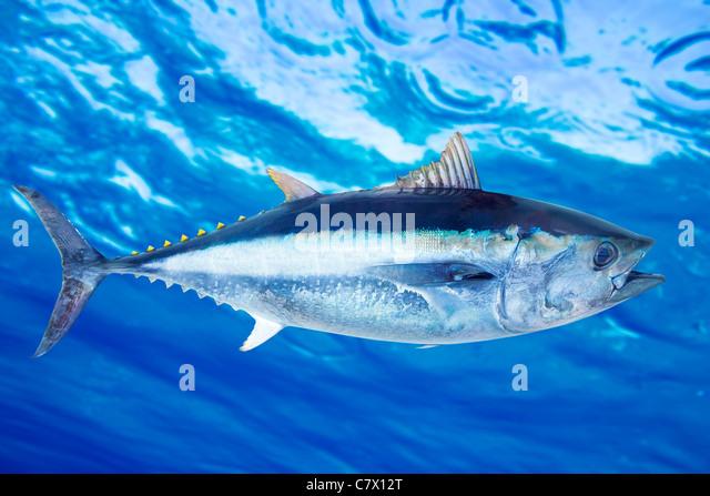 Bluefin tuna Thunnus thynnus saltwater fish underwater blue sea - Stock Image