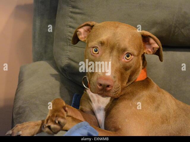 Pit bull chocolate lab mix puppy