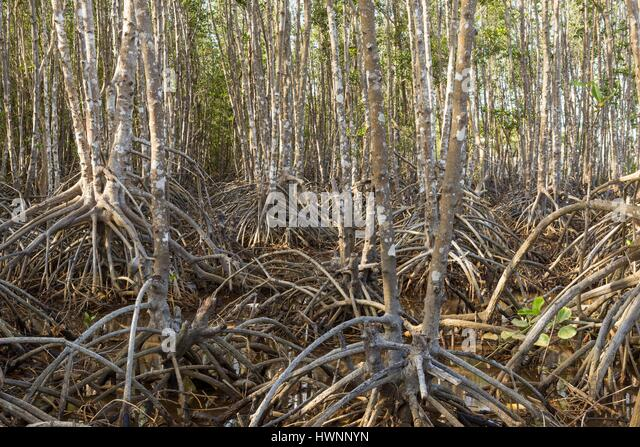 Philippines, Luzon, Sorsogon Province, Donsol, mangrove planted by villagers - Stock-Bilder