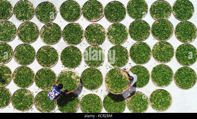 Quanzhou, China's Fujian Province. 7th Oct, 2017. Farmers air tea leaves in Anxi County, southeast China's - Stock Image