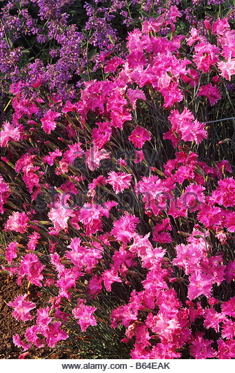 old fashioned pinks Dianthus - Stock Image