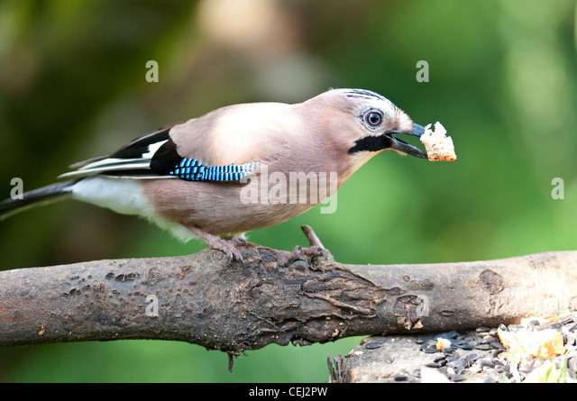 Jay Feeding on a branch. - Stock Image