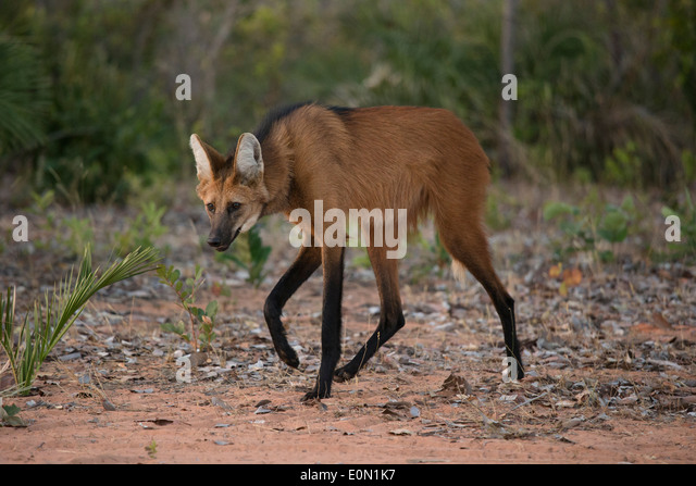 Maned Wolf walking on trail, Cerrado, Brazil, South America (Chrysocyon brachyurus) - Stock-Bilder