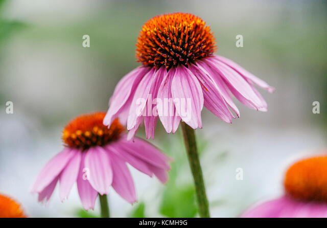 Echinacea, cone flowers, in bloom, in a garden setting. - Stock Image