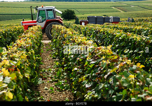 Field of grapevines, tractor with load of harvested grapes in background - Stock Image