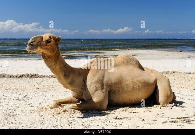 Camel rides on the beach at Mombasa, Kenya, East Africa - Stock Image