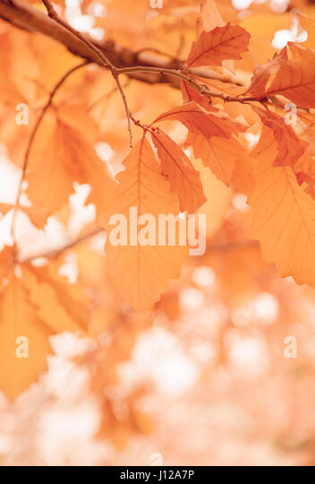 leaf, Fall Season Orange leaf, Fall Season - Stock Image