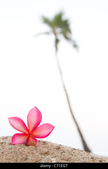 A pink plumeria flower, near a lone palm tree in Hawaii. - Stock Image