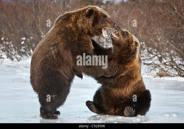 CAPTIVE: Pair of Brown bears fight on the ice at Alaska Wildlife Conservation Center, Southcentral, Alaska, Winter - Stock Image