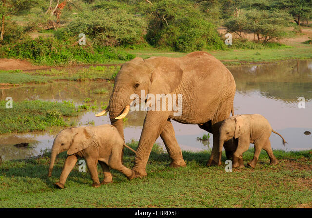 African elephant (Loxodonta africana), cow elephant with two calves at the waterhole, Tanzania, Serengeti National - Stock Image