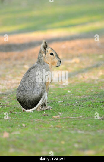 Vertical portrait of adult of Patagonian mara, Dolichotis patagonum, sitting down on the ground. - Stock Image
