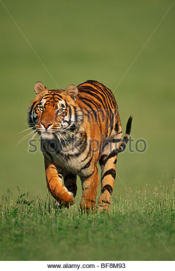 Bengal tiger male running, Panthera tigris tigris, Native to India - Stock Image