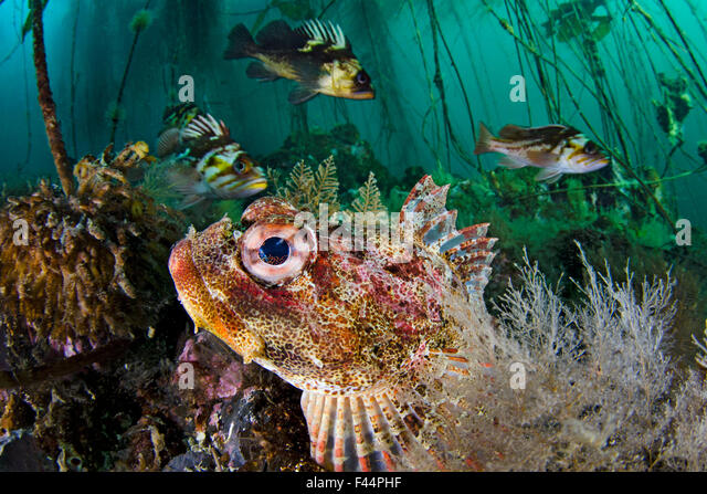 Red Irish lord (Hemilepidotus hemilepidotus) hides on the sebed, with Quillback rockfish (Sebastes maliger) and - Stock Image