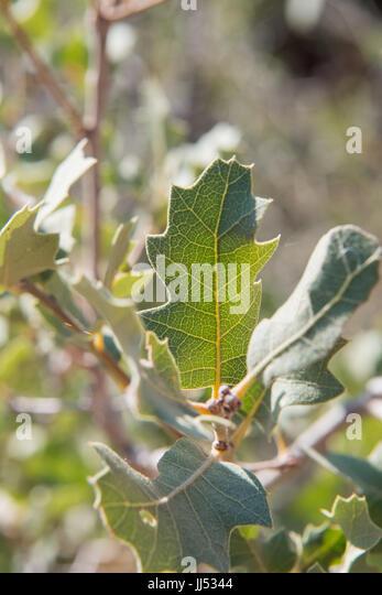 Leaf Detail on Desert Scrub Bush in dry summer - Stock Image