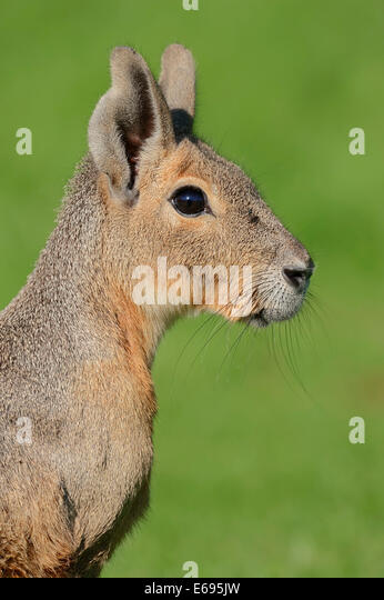 Patagonian Cavy or Patagonian Mara (Dolichotis patagonum), portrait, native to Argentina, captive, Germany - Stock Image