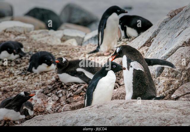 Adelie and Gentoo (orange beak) penguins nesting together on Petermann Island in Antarctica. - Stock Image