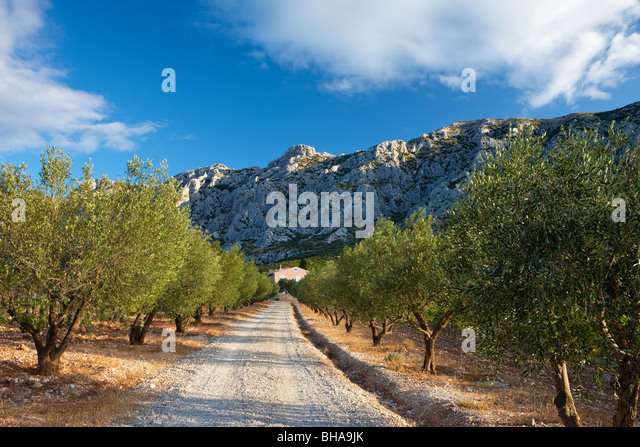 an avenue lined with olive trees below the Montagne Ste Victoire nr Puyloubier, Provence, France - Stock Image