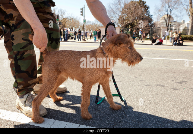 Owner handling Irish Terrier - Stock Image