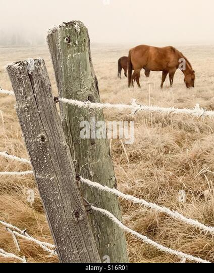 Horses graze in a foggy pasture enclosed by a fence icy with hoar frost. - Stock Image