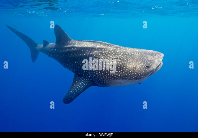 the characteristics of the whale shark the largest species of fish The whale shark (rhincodon typus) is a slow-moving, filter-feeding carpet shark  and the largest known extant fish species the largest confirmed individual had.