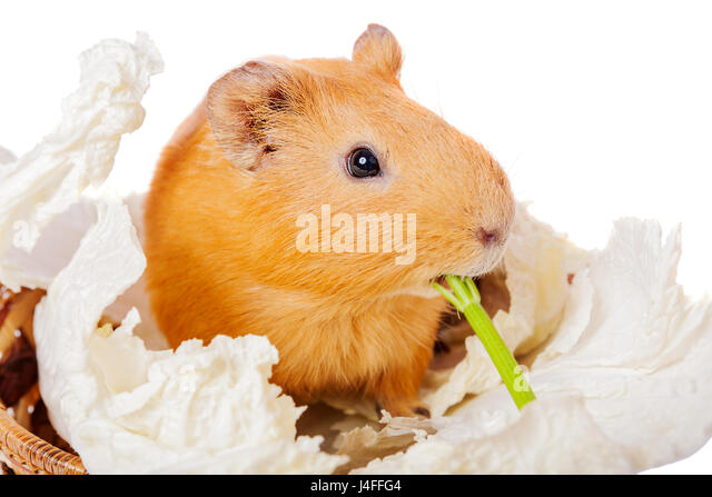 fluffy cavy pet eating isolated on white - Stock Image