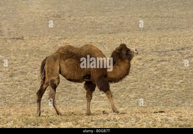 Bactrian Camel Or Two Hump Camelus Bactrianus Lives In Desert Xinjiang China