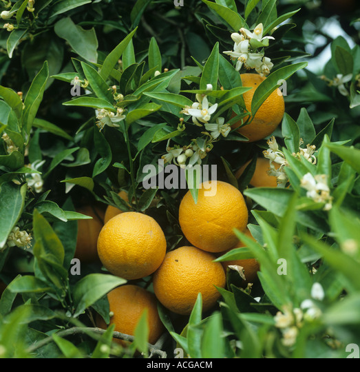 Orange Tree Citrus Sinensis Stock Photos & Orange Tree ...
