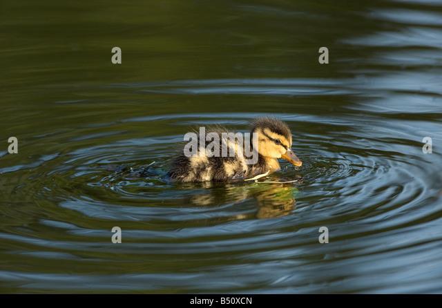 Mallard duckling Anas platyrhunchos swimming on Banks Pond late in evening showing dark eye stripe - Stock Image