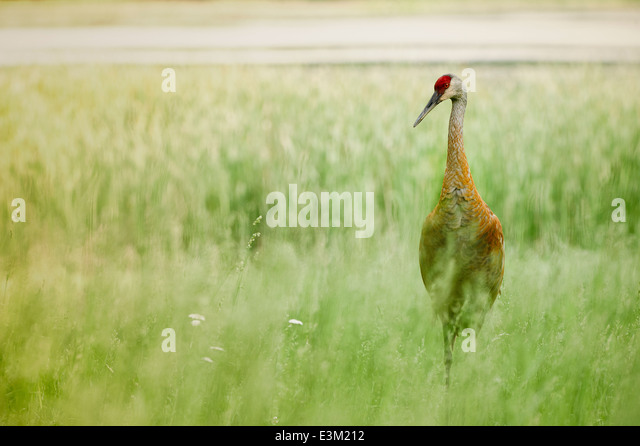 A sandhill crane forages for food in lakeside grasses in Southeast Michigan, United States. - Stock Image