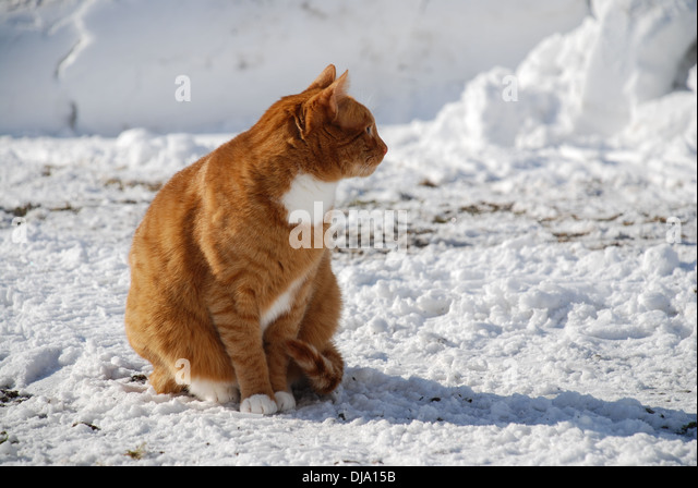 Red cat sitting in the snow - Stock Image