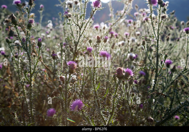 Thistles with sunlight in a field - Stock Image