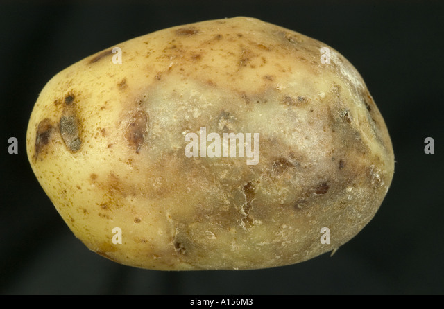 the potato blight essay The irish potato famine 1846-1850 this article is a continuation from better known as potato blight this devastating disease rotted the potatoes in the ground.