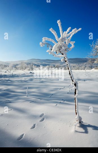 Winter flower - Stock Image