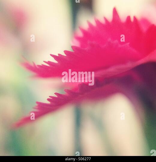 Pink Carnation flower - Stock Image