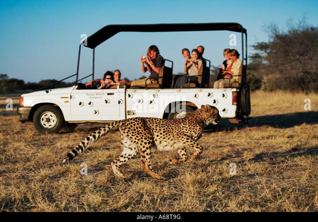 Cheetah Acinonyx jubatus Tourists in safari vehicle watching a cheetah in the grass. Private game reserve Namibia - Stock Image