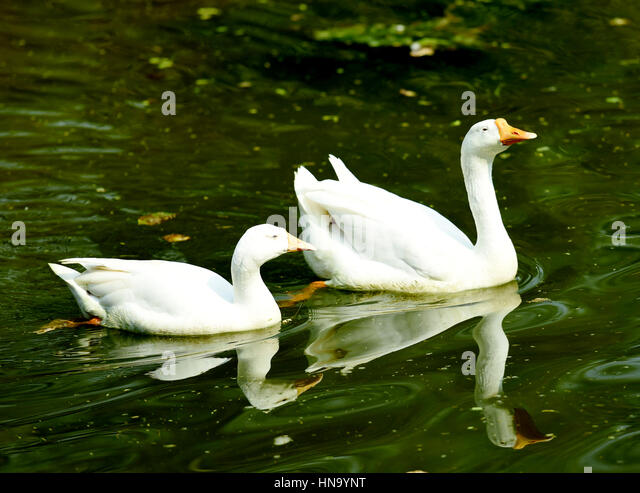 Two swans swimming in a lake. - Stock Image