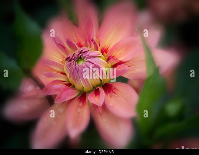 Dahlia (Nicholas) close up. Oregon - Stock Image