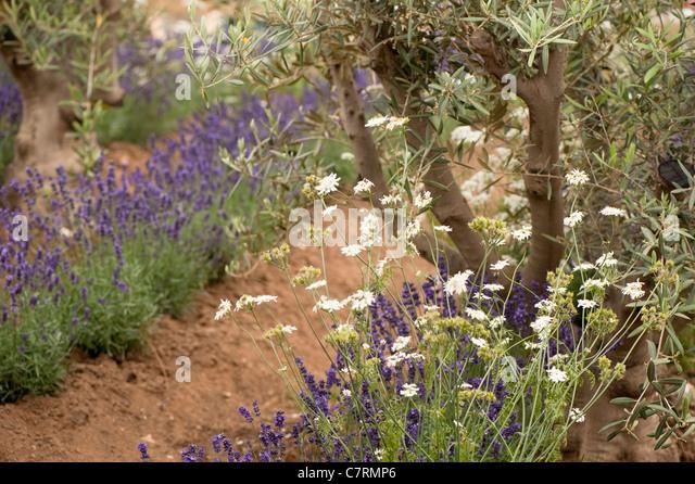 Olive Tree Uk Stock Photos Olive Tree Uk Stock Images