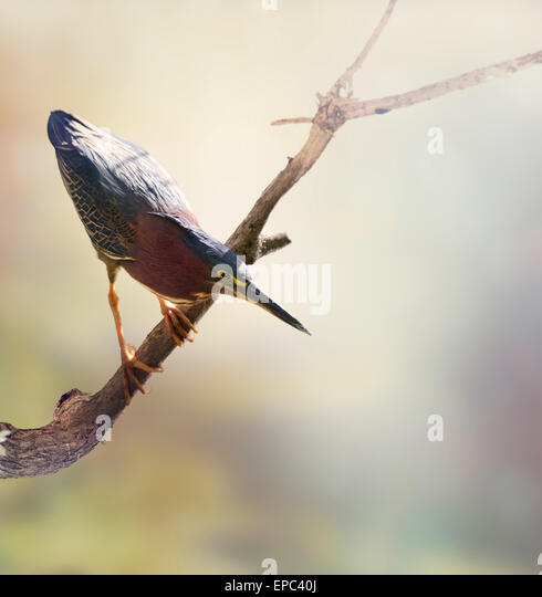 Green Heron Perches on a Branch - Stock-Bilder