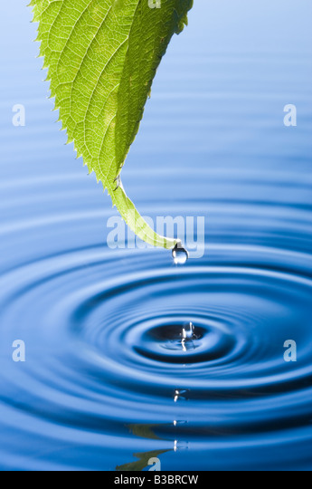 Water droplets falling from leaf causing ripples. Flowering cherry tree leaf. - Stock-Bilder